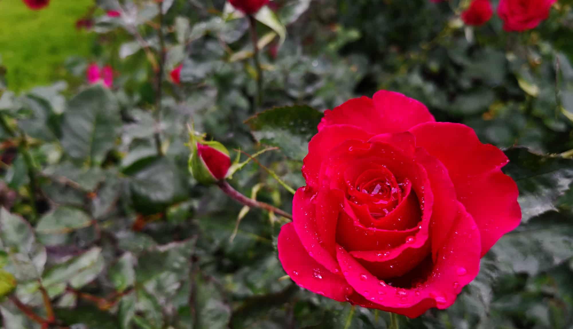 Rose, Victoria Island, Canada